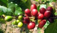 Giá cà phê rớt theo chiều thẳng đứng