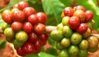 Giá cà phê Việt Nam xếp hạng bét tại Hàn Quốc