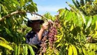 Việt Nam trở thành nhà cung cấp cà phê lớn nhất của Nhật Bản