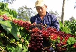 Hiếm thấy: Giá cà phê có 4 đợt tăng mạnh trong tuần