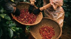 Ý kiến chuyên gia: Giải pháp tài chính giữa biến động thị trường cà phê