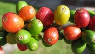 Coffee premiums narrow in Vietnam but rise in Indonesia