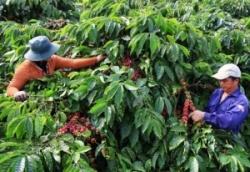 Niên vụ cà phê 2021-2022: Đầy hứa hẹn nếu...